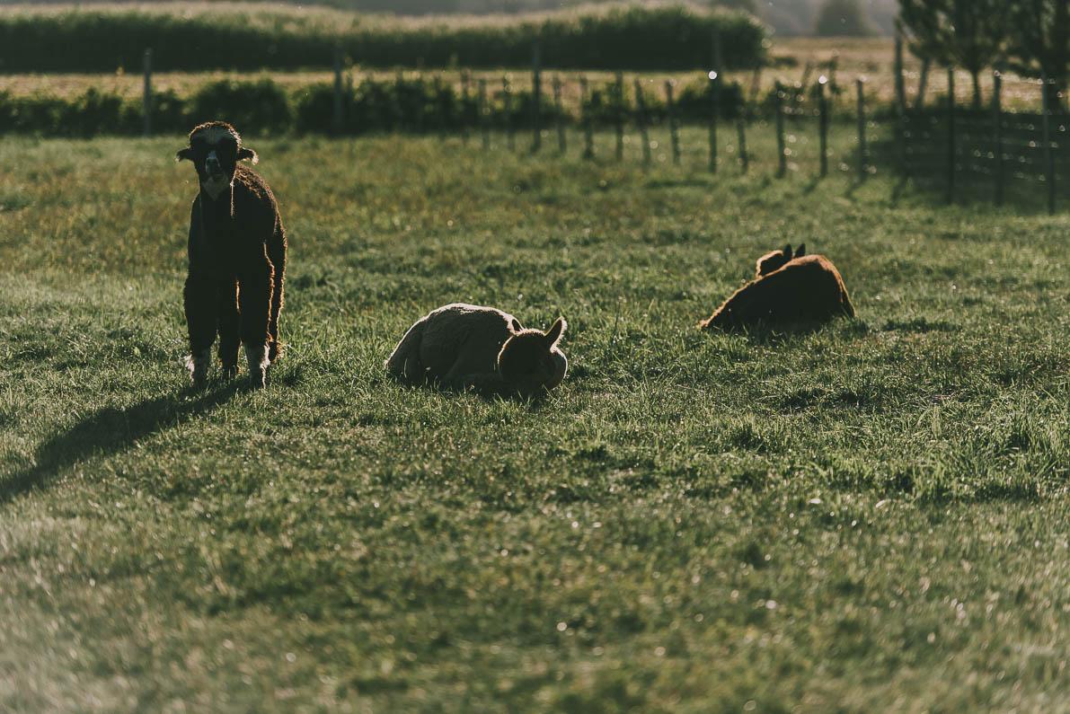 Alpakarium-agroturystyka alpaki napolu