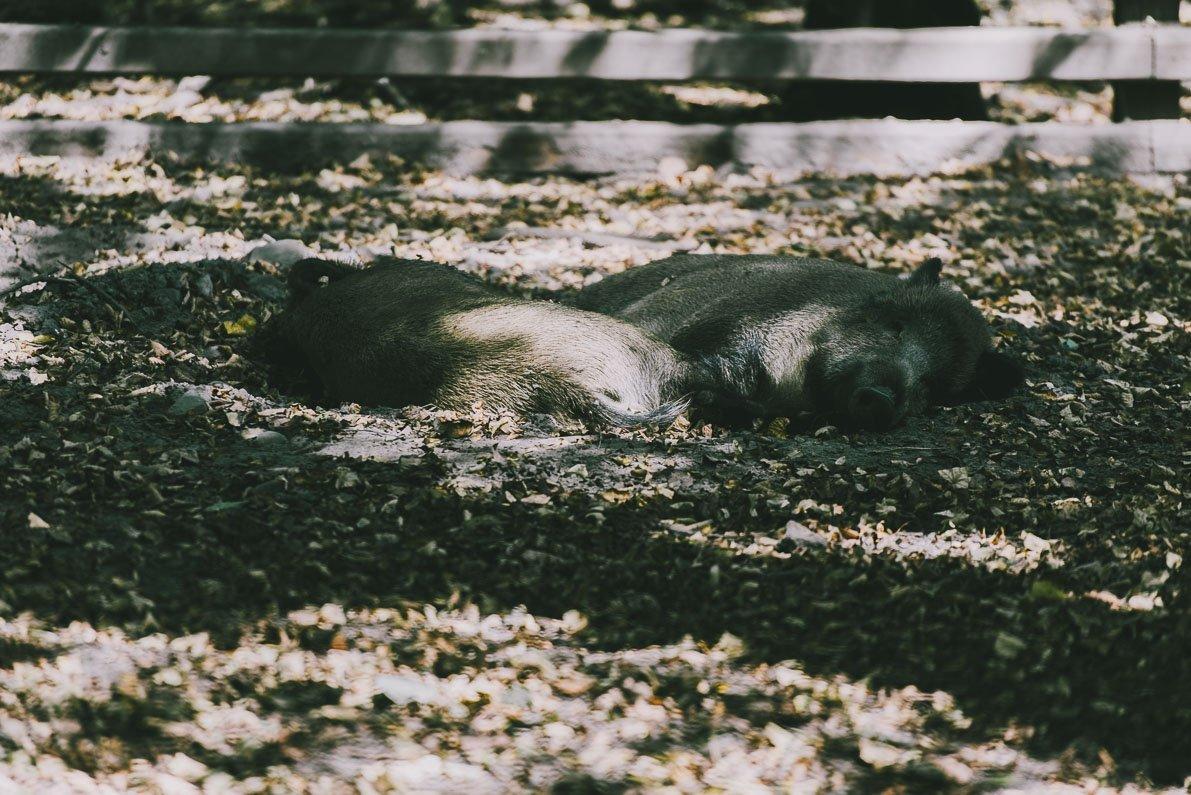 atrakcje-bialowiezy Rezerwat Pokazowy Żubrów