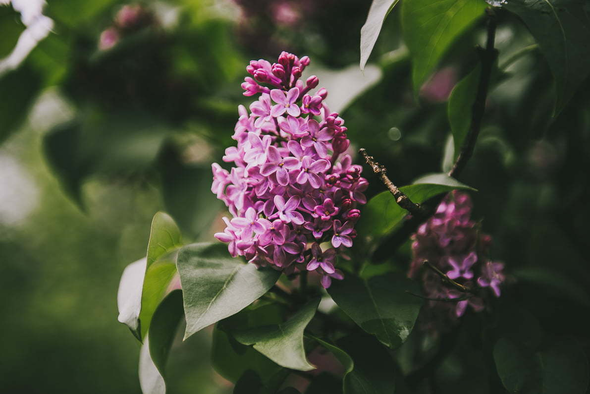 Lanckorona - kwiaty