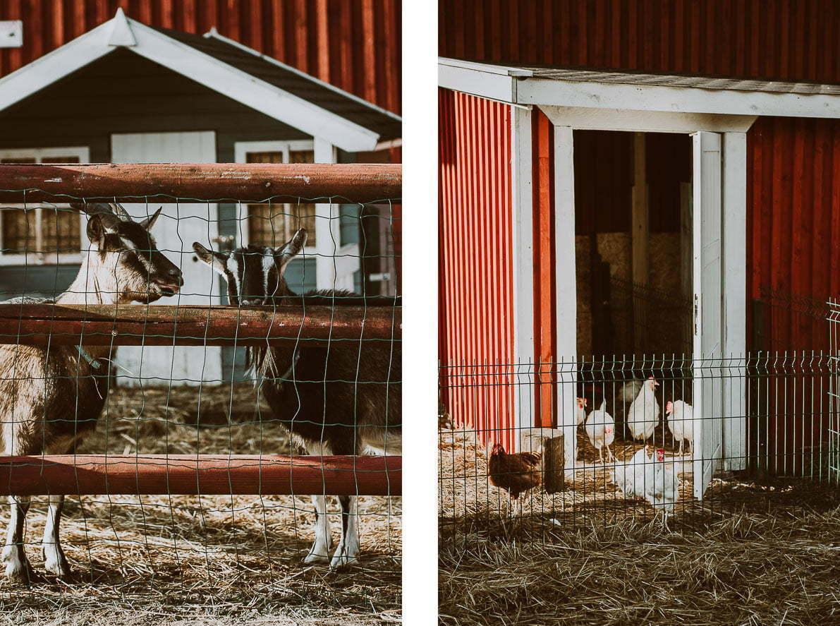 Arendel Wioska Norweska - zwierzęta