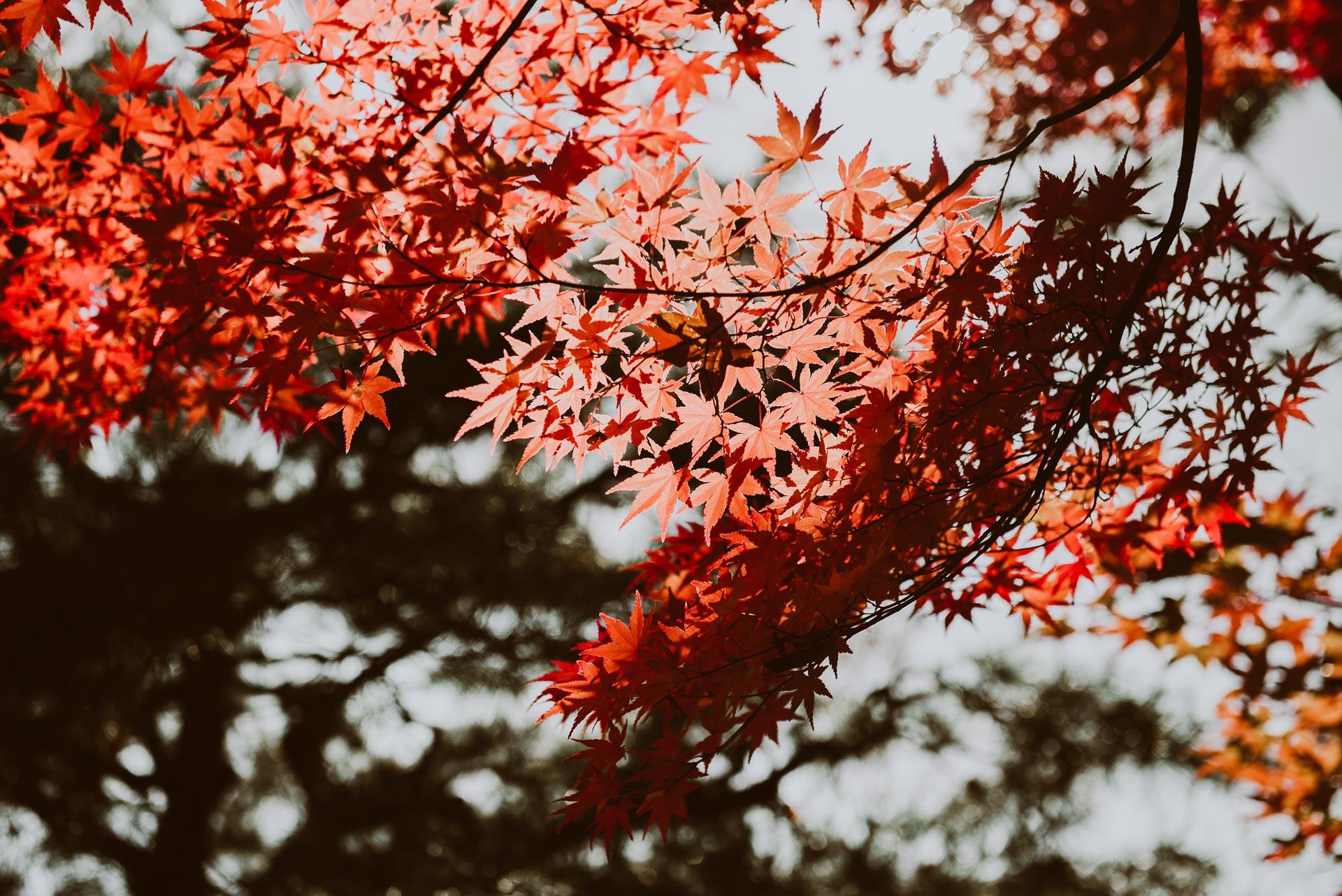 Japonia jesienią - klony