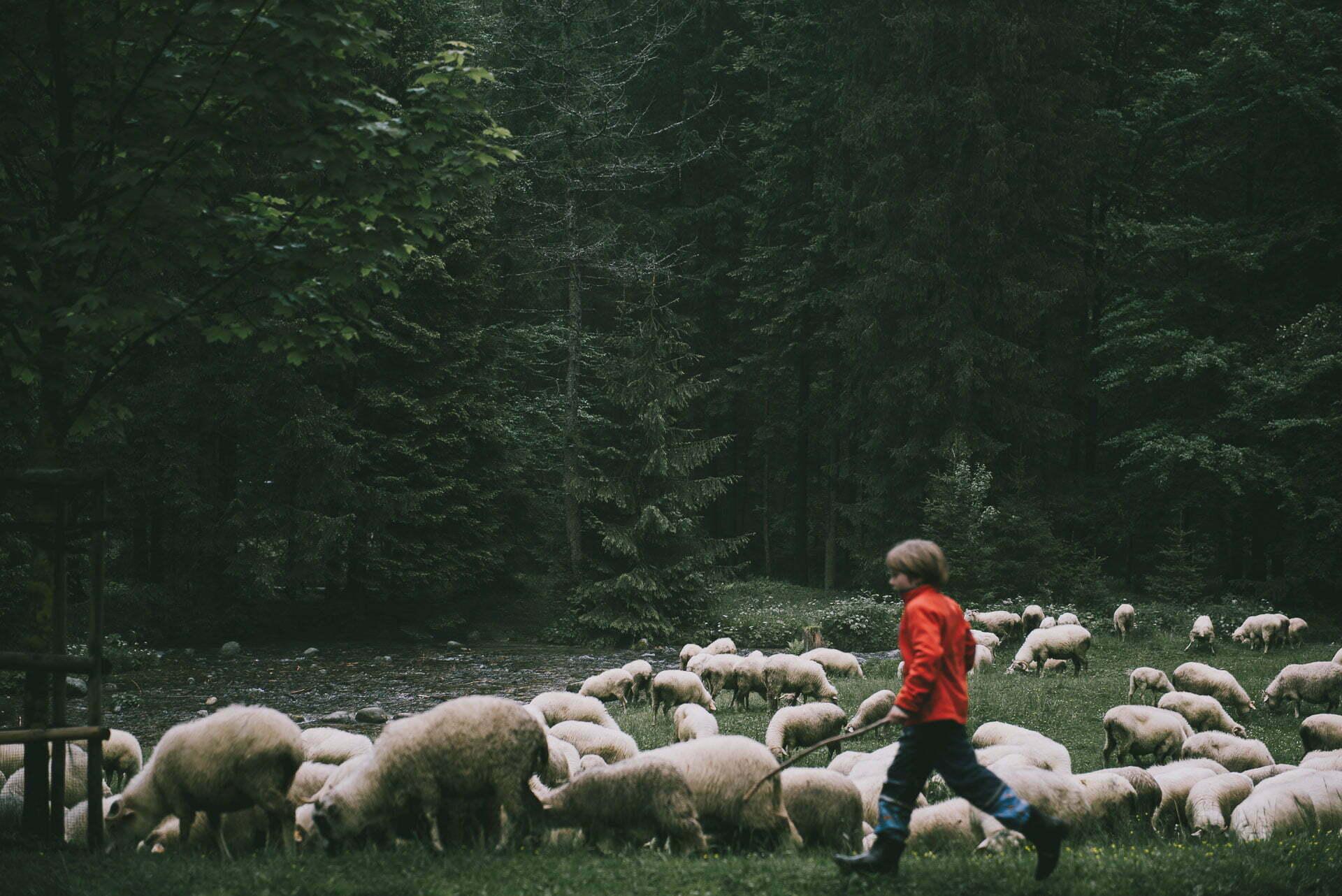 Zakopane - stado owiec