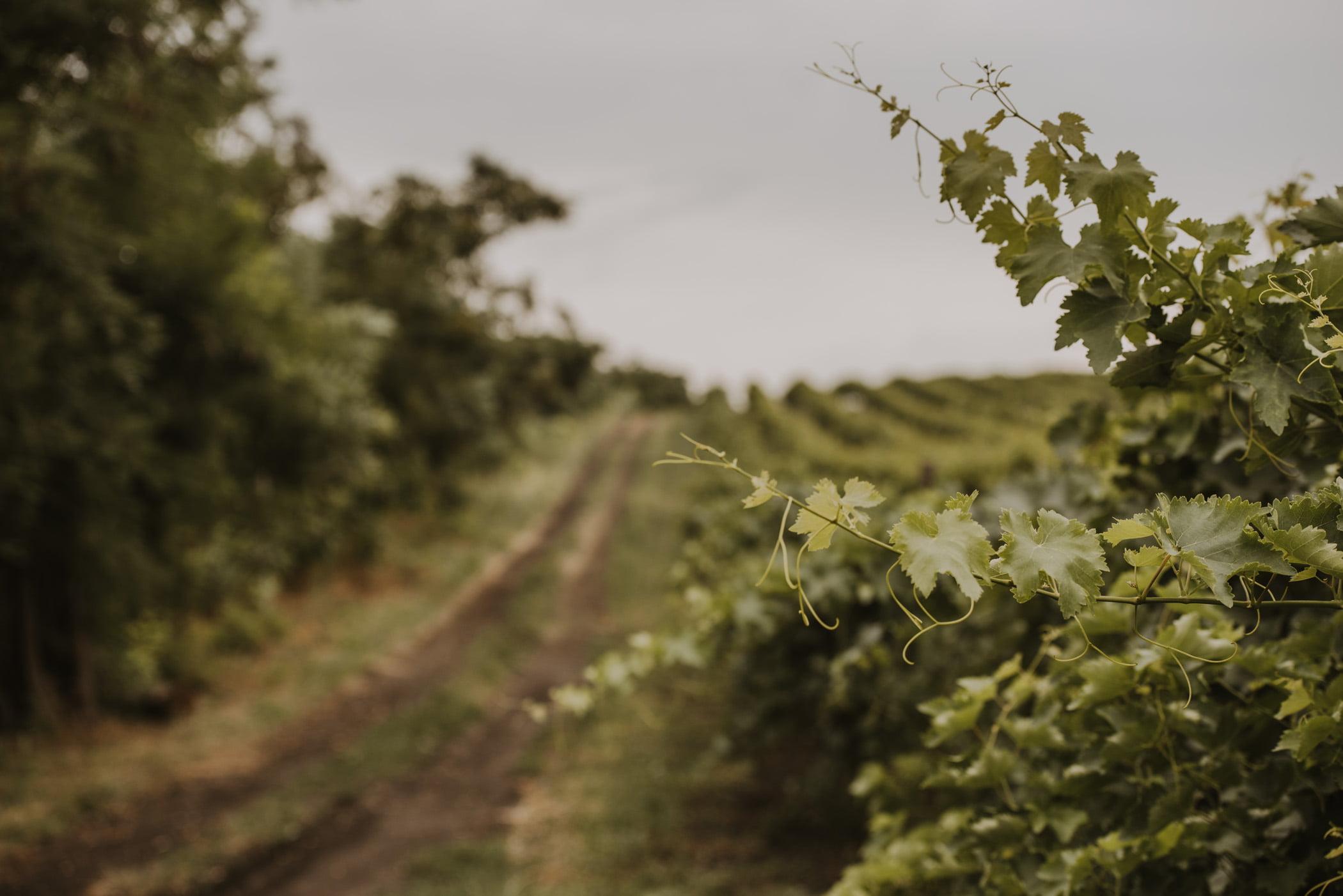 Gruzja - uprawa winogron